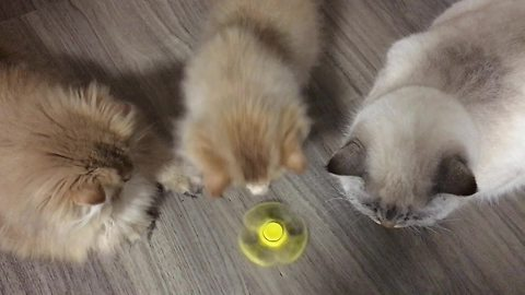 Cats learn how to play with fidget spinner