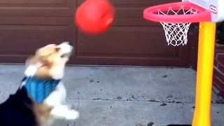 Corgi shows off impressive basketball skills