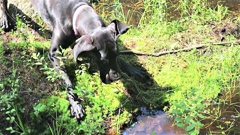 Great Dane puppy is adorably terrified of stick floating in a swamp puddle