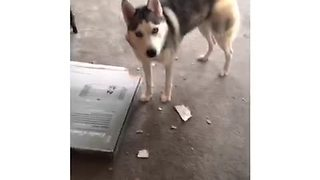 Guilty husky argues with owner about mess