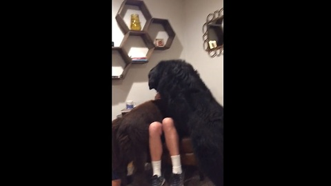 A dog owner pets his massive Newfoundland. But what happens when the other one finds out? OMG!