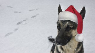 German Shepherd enthusiastically opens Christmas present
