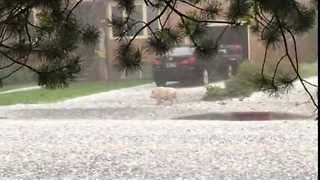 Pig Caught Out in Hailstorm in Billings, Montana - Video