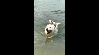 Chihuahua rides on back of big swimming doggy