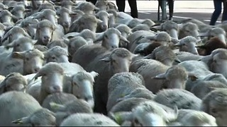 3000 Sheep Stroll Through Madrid - Video