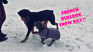 French Bulldogs experience snow for the first time