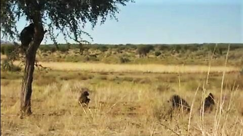 Orphaned baboons enjoy free time in the wild