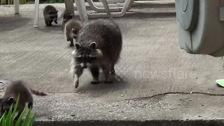 Mother raccoon struggles to contain her curious babies - Video