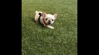 Tiny French Bulldog puppy throws barking tantrum