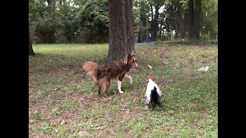 Brad Pitt the Rooster Plays Tag With Border Collies