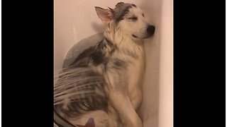 Husky Puppy Loves Bath Time From The Bottom Of His Heart