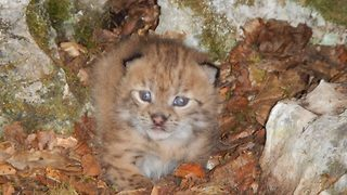 Footage released of Europe's rarest cat – First wild cub sighting in 10 years - Video