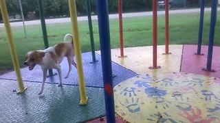 Chihuahua Loves The Merry Go Round | Funny Dog Park Videos
