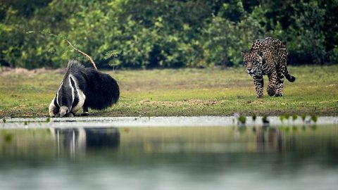 Heart-stopping moment jaguar stalks drinking giant anteater only to watch it walk off unharmed