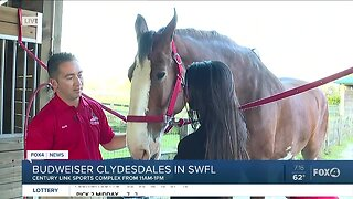 Budweiser Clydesdales prepare for last SWFL stop