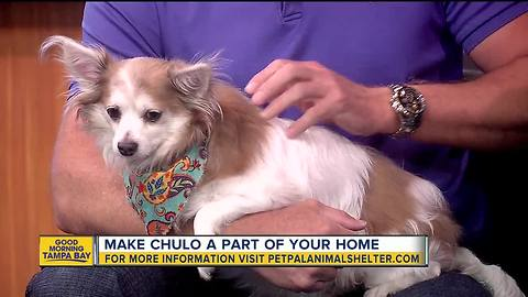 Pet of the week: Chulo the Chihuahua loves cuddles and hanging out with dogs his own size