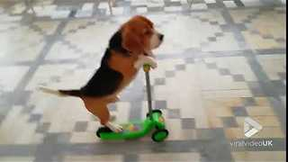 Smart Beagle Rides Scooter Like A Pro - Video
