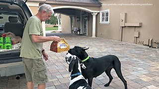 Great Dane Delivery Training Doesn't Go As Planned  - Video