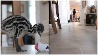 Baby emu happily plays with little kid