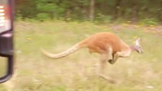 Rogue Kangaroo Spotted on South Carolina Highway - Video