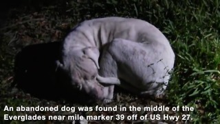 Hopeless dog found abandoned in Florida Everglades - Video