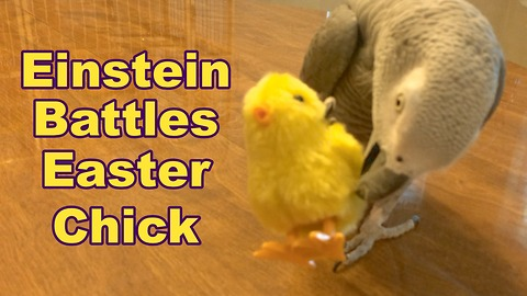 Talking parrot battles with toy Easter chick