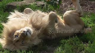 White lion roars in sleep - Video