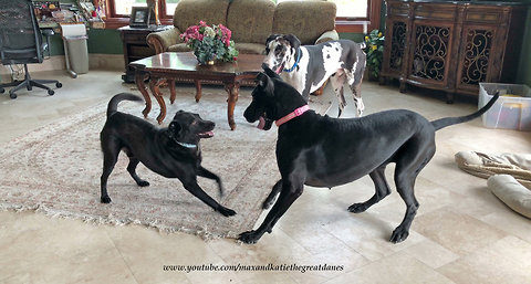 Great Danes and Friends Play Monkey in the Middle