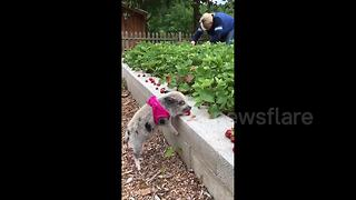 "Adorable mini-pig ""picks"" strawberries - Video"