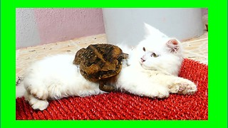Cat and bullfrog share totally bizarre friendship