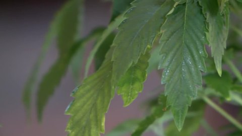 Cease and desist orders sent to medical marijuana businesses operating illegally