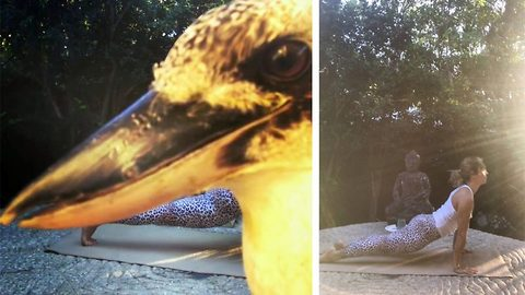 Yogi bird! Cheeky kookaburra photobombs yoga instructor's video