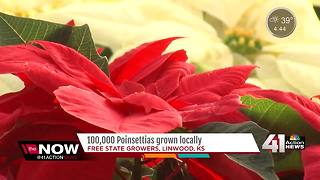 Your poinsettia might have been grown in KC metro - Video