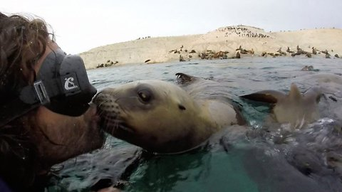 Sea-led with a kiss: Amorous sea lion plants two wet kisses on diver's mouth