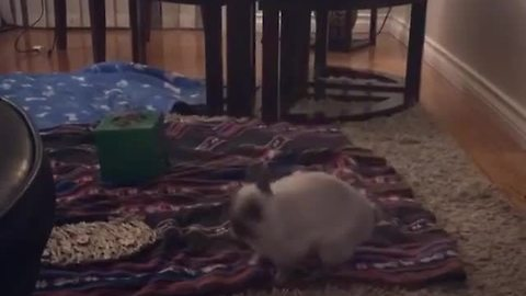 Hopping Bunny Gets An Adorable Case Of The Zoomies