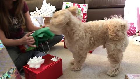 Dog enthusiastically opens and plays with Christmas present