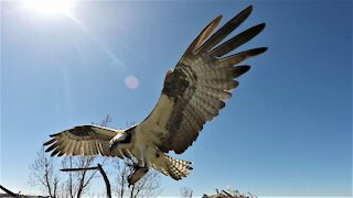 Nest camera captures fish eagles fighting over a large catfish