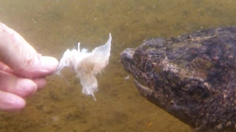Hand-feeding a snapping turtle is risky business