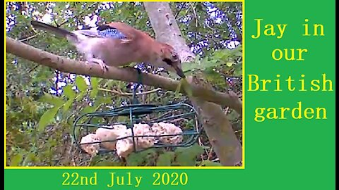 A beautiful jay in Our Wildlife Oasis - 22nd July 2020