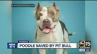 Pit bull helps save poodle with blood transfusion - Video