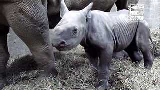 Cincinnati Zoo's Baby Black Rhino Doing Well - Video