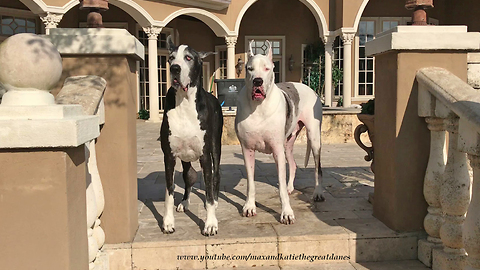 Happy Great Danes Play Together on Patio Lounger - Dog Photo Bomber