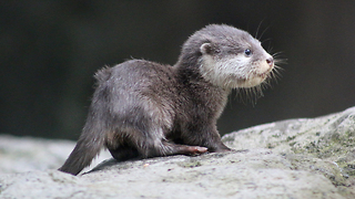 Tiny Baby Otter Ventures Outside Its Nest: ZooBorns - Video