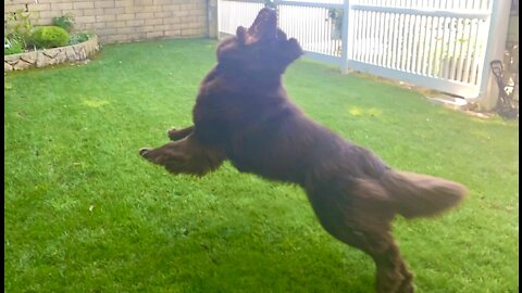 Swing and a miss! Hilarious Newfoundland clumsily tries to catch toy