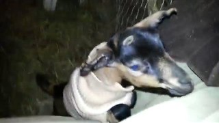 Sweater Wearing Goat is Very Excited - Video