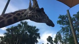Live report: Naples Zoo celebrates World Giraffe Day