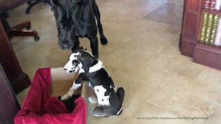 Black Great Dane Gently Plays With Funny 7 Week Old Harlequin Puppy