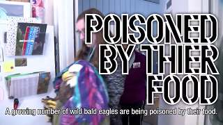 Bald eagles dying from lead poisoning - Video