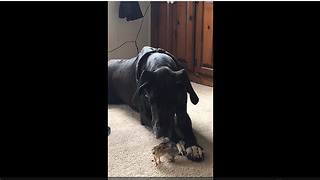 Huge Great Dane gently meets tiny baby chicks - Video