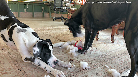 Funny Great Danes Remove Squeaker from Stuffed Gnome Toy